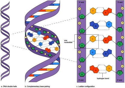 Overview of DNA structure